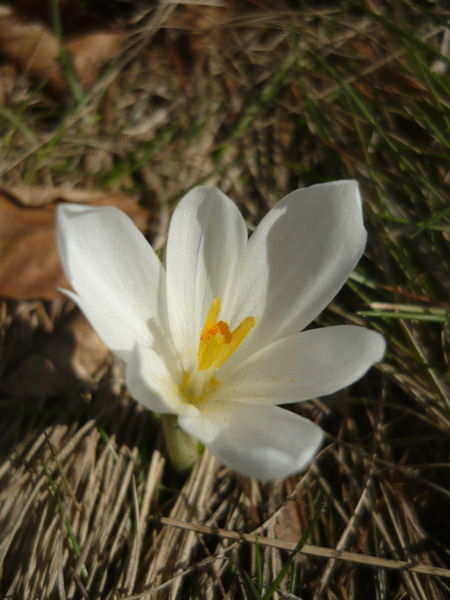 File:Crocus3.JPG