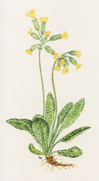 Primula officinalis.png