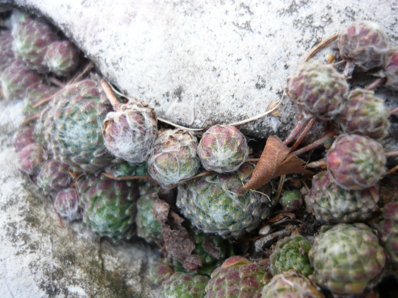 File:Sempervivum ar4.JPG
