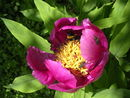 Peonia Officinalis (2).JPG