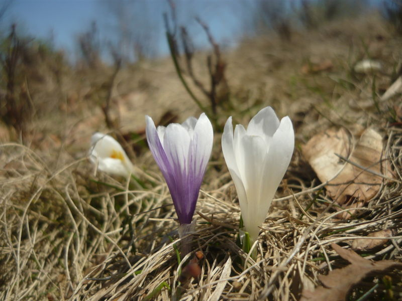 File:Crocus8.JPG